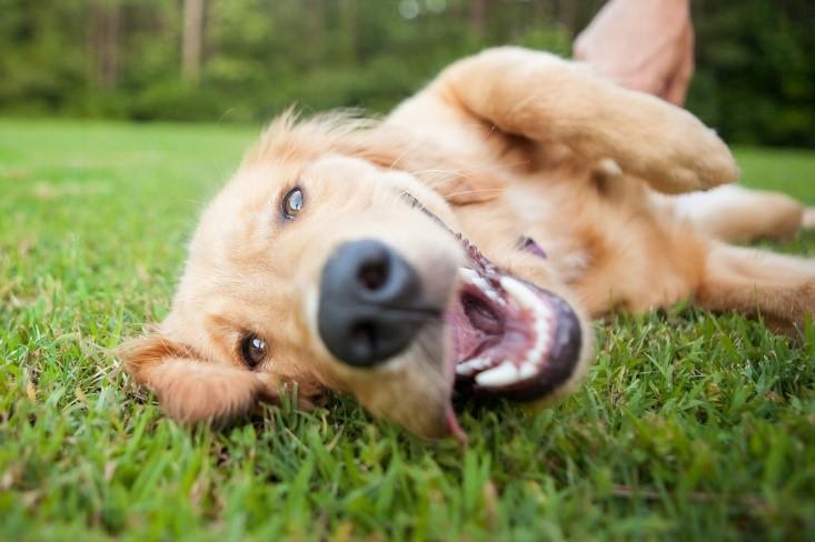 開心的小狗躺在草地上